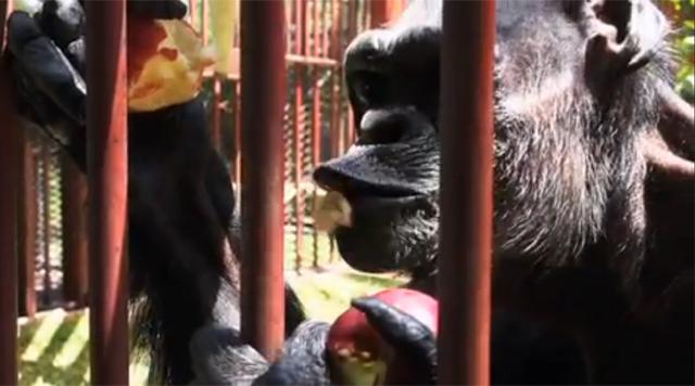 Oliver the famous chimp dies at San Antonio refuge, at ...